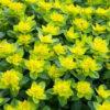 Молочай (Эуфорбия): особенности ухода, виды и цветение
