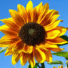 Подсолнечник однолетний (Helianthus): о растении, уходе и сортах