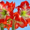 Амариллис в домашних условиях: уход и цветение