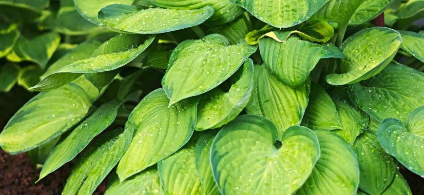 Хоста: описание, сорта и уход за растением