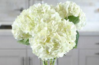 Как ухаживать за срезанной гортензией. Лучшие способы как сохранить и оживить цветок