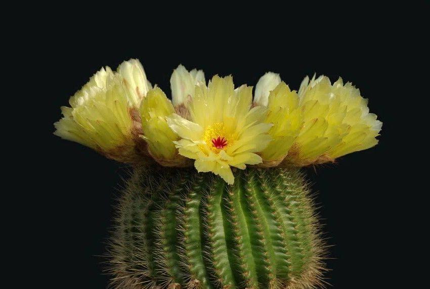 Кактус во время цветения