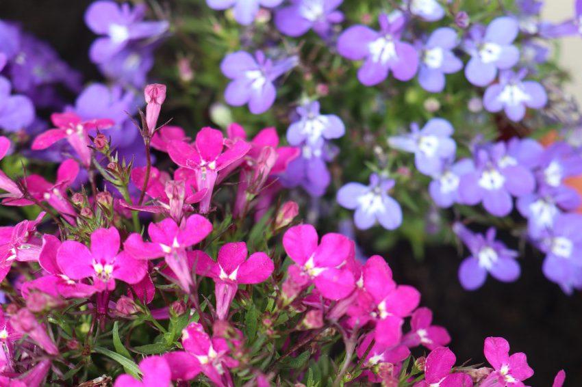 Розовые и фиолетовые цветы Лобелии