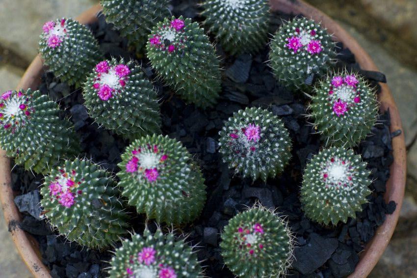 Маленькие кактусы с розовым цветком