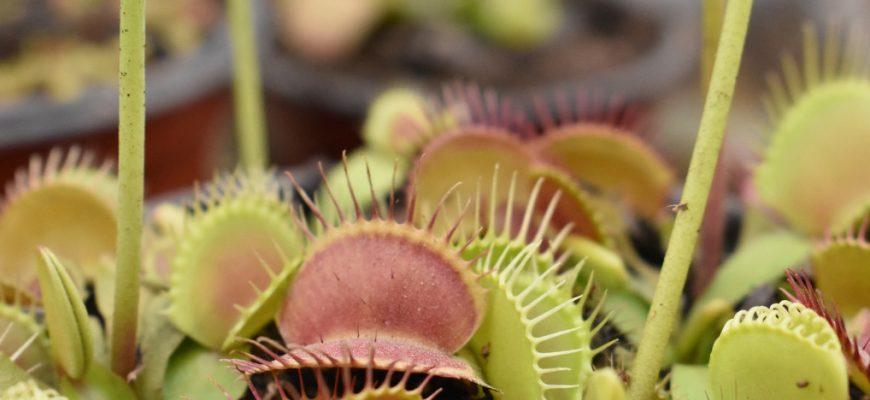 Венерина мухоловка - выращивание, зимовка и размножение