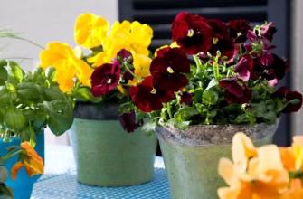 анютины глазки - весенние цветы