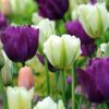 Тюльпан - украшение сада
