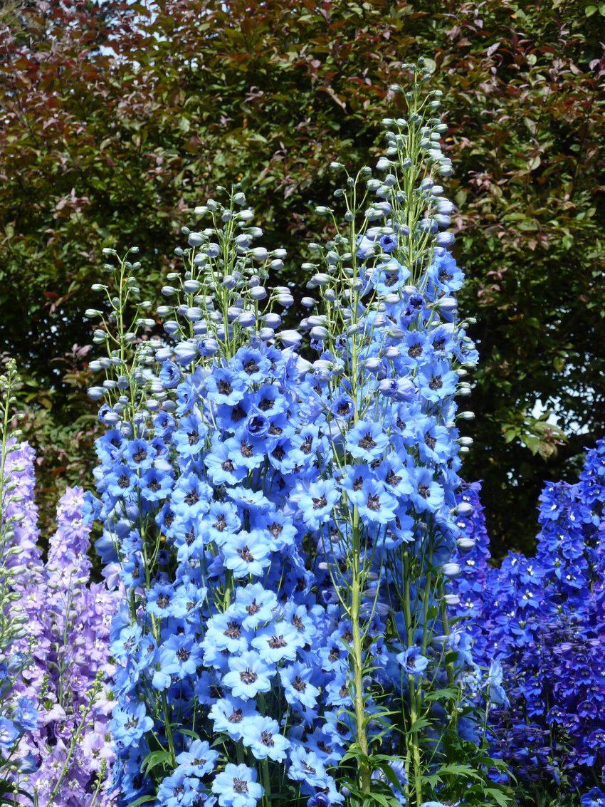синие цветы дельфиниума