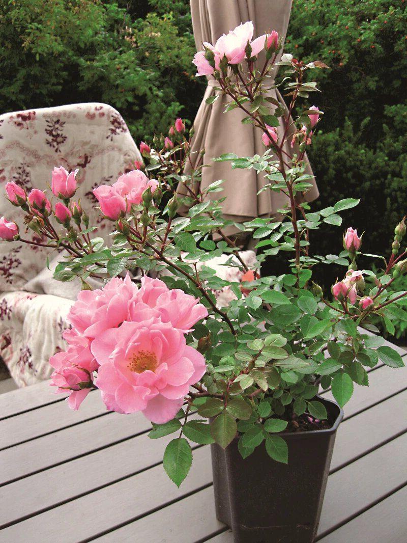 Роза на балконе розового цвета