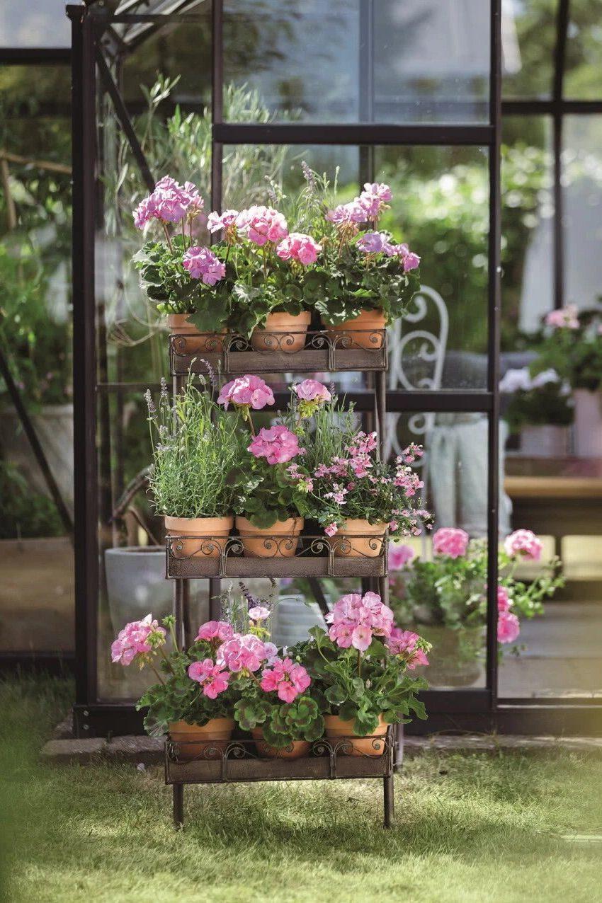 Герань настенная, розовые цветы