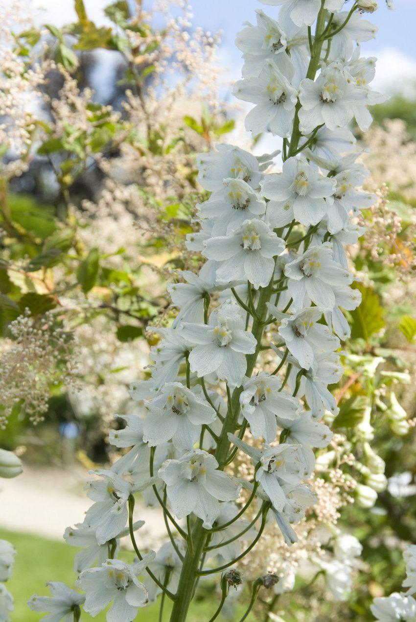 белые цветы дельфиниума