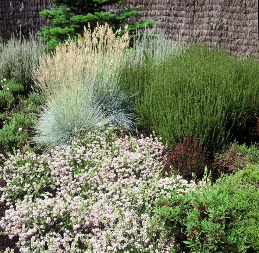 Декоративные травы в саду - овсяница