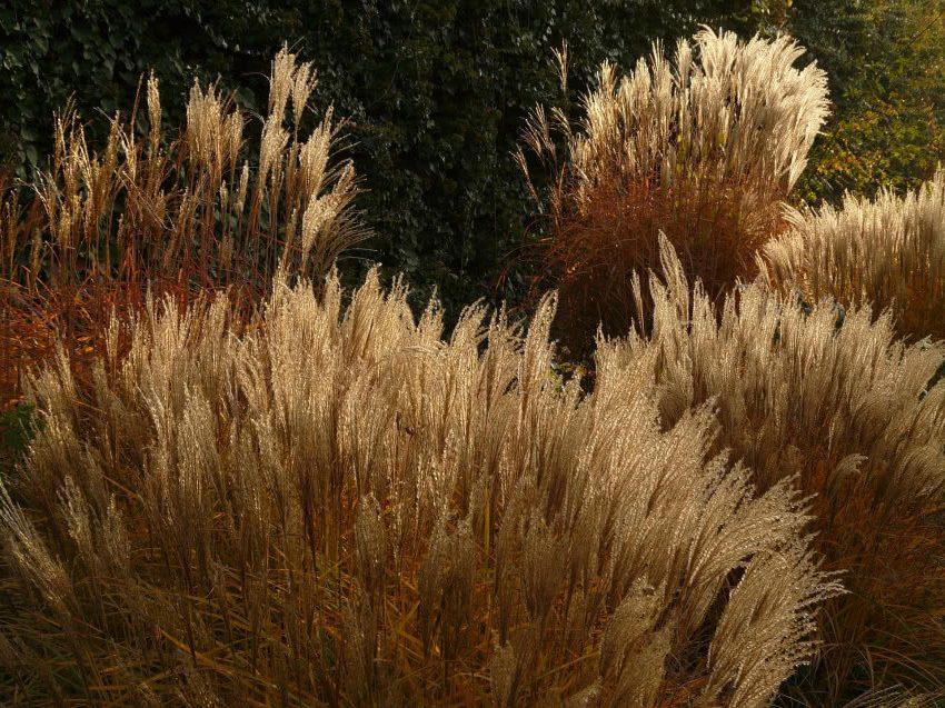 Мискантус - разновидность декоративной травы для сада