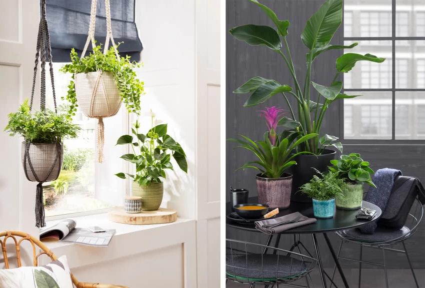 многолетний цветок, папоротник, черный журнальный столик, подвесные цветы у окна