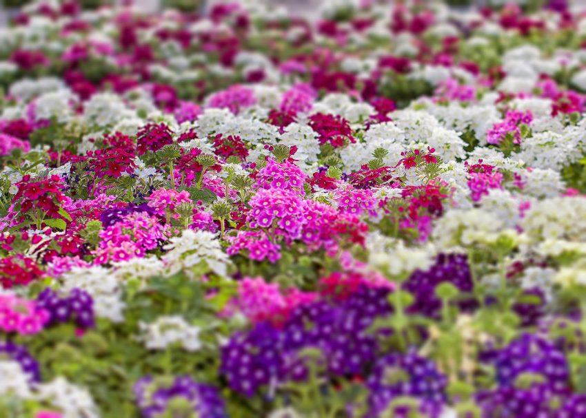 Цветы садовой вербены