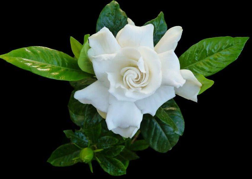 Цветок гардении