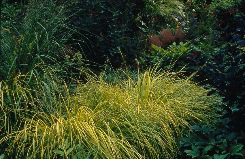 Осока жесткая - декоративная трава для сада