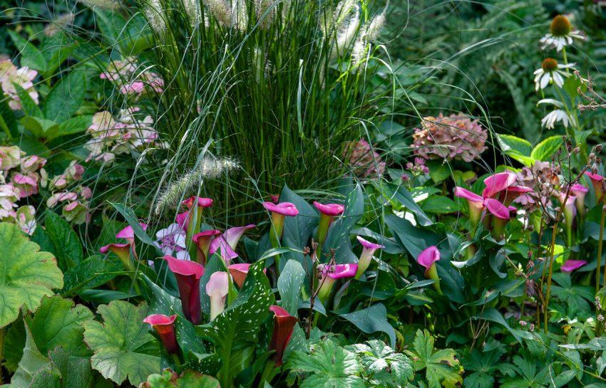Zantedeschia, или калла (Zantedeschia) в сопровождении многолетних растений