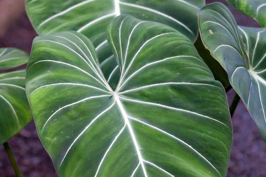 Филодендрон Gloriosum листья