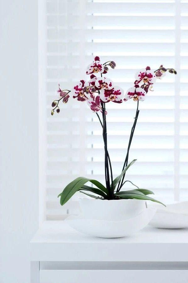 Чёрная орхидея
