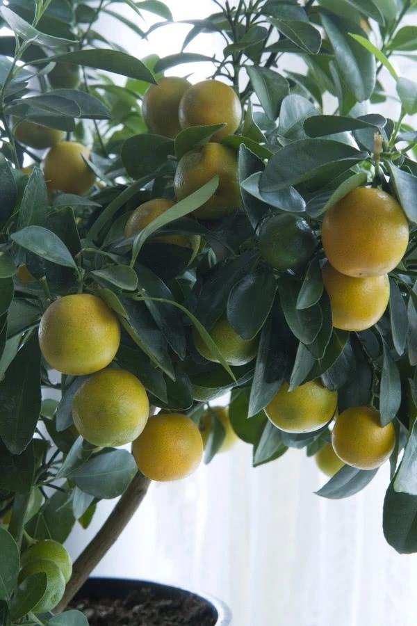 Каламондин и ее плоды