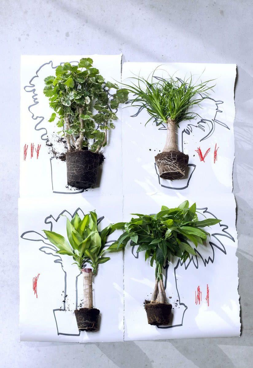 Самодельные экзотические деревья: нолина (IV), пахира (III), драцена (II), полисциасы (I)
