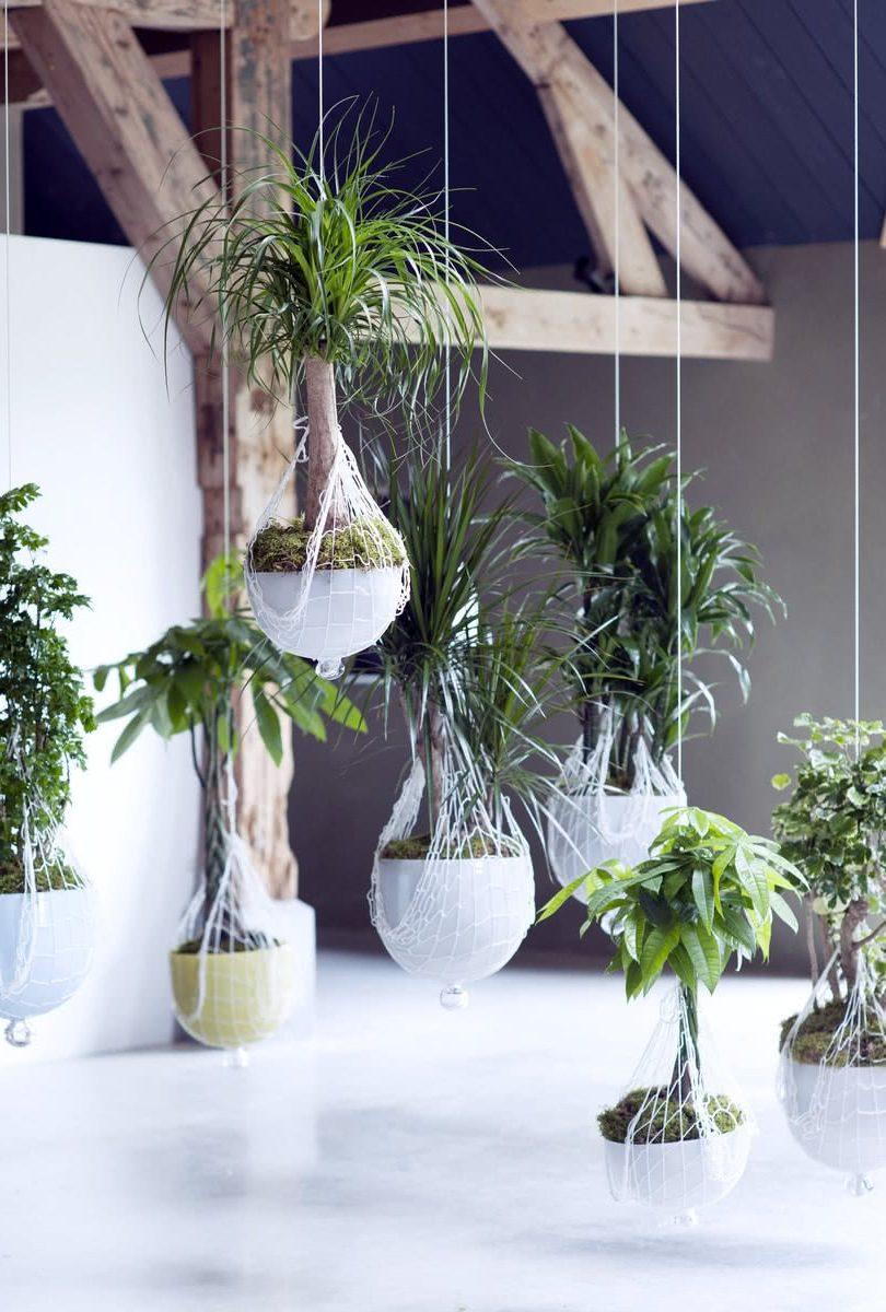 Самодельные экзотические деревья в подвесных горшках: нолина, пачира, драцена, полисциас