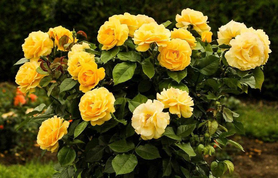 Желтая парковая роза