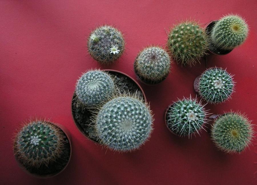 Кресло свекрови Echinocactus grusonii