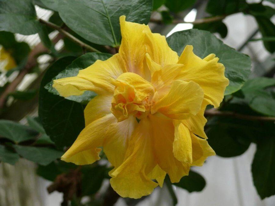 желтый цветок гибискуса