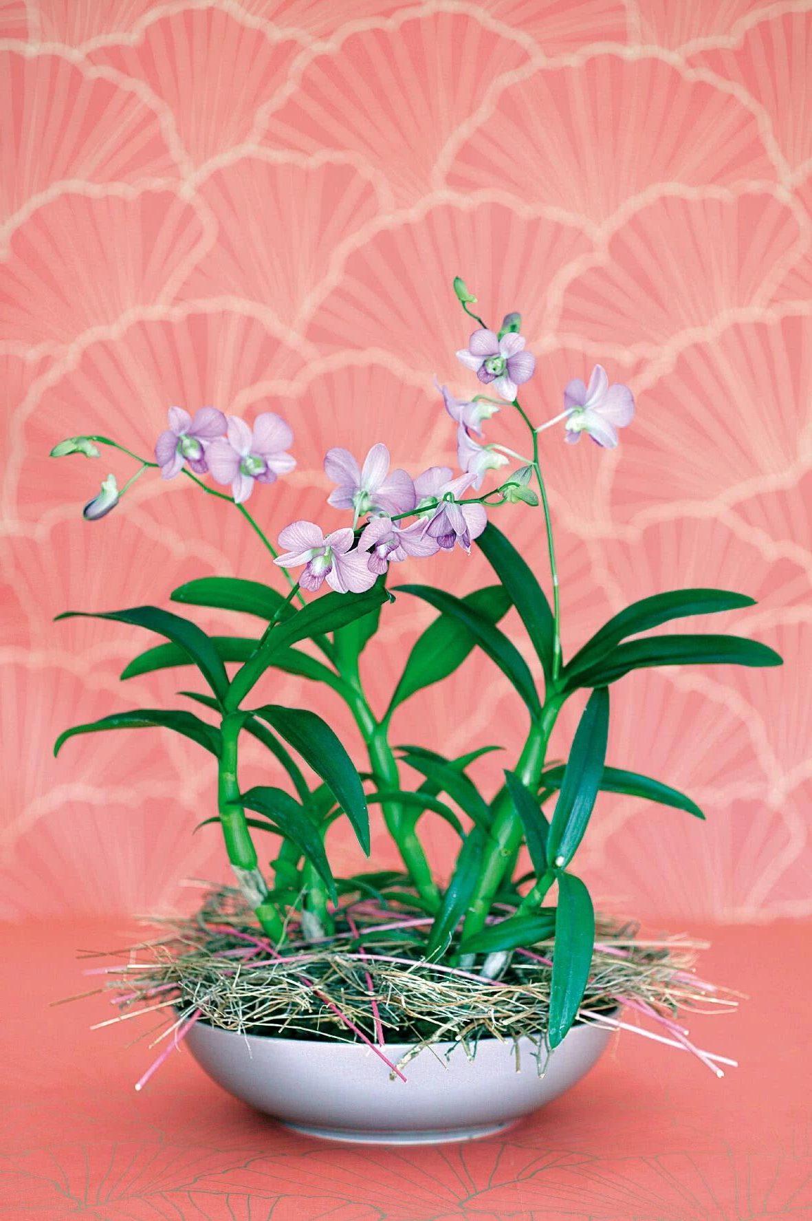 Орхидея дендробиум - близкая родственница фаленопсиса.