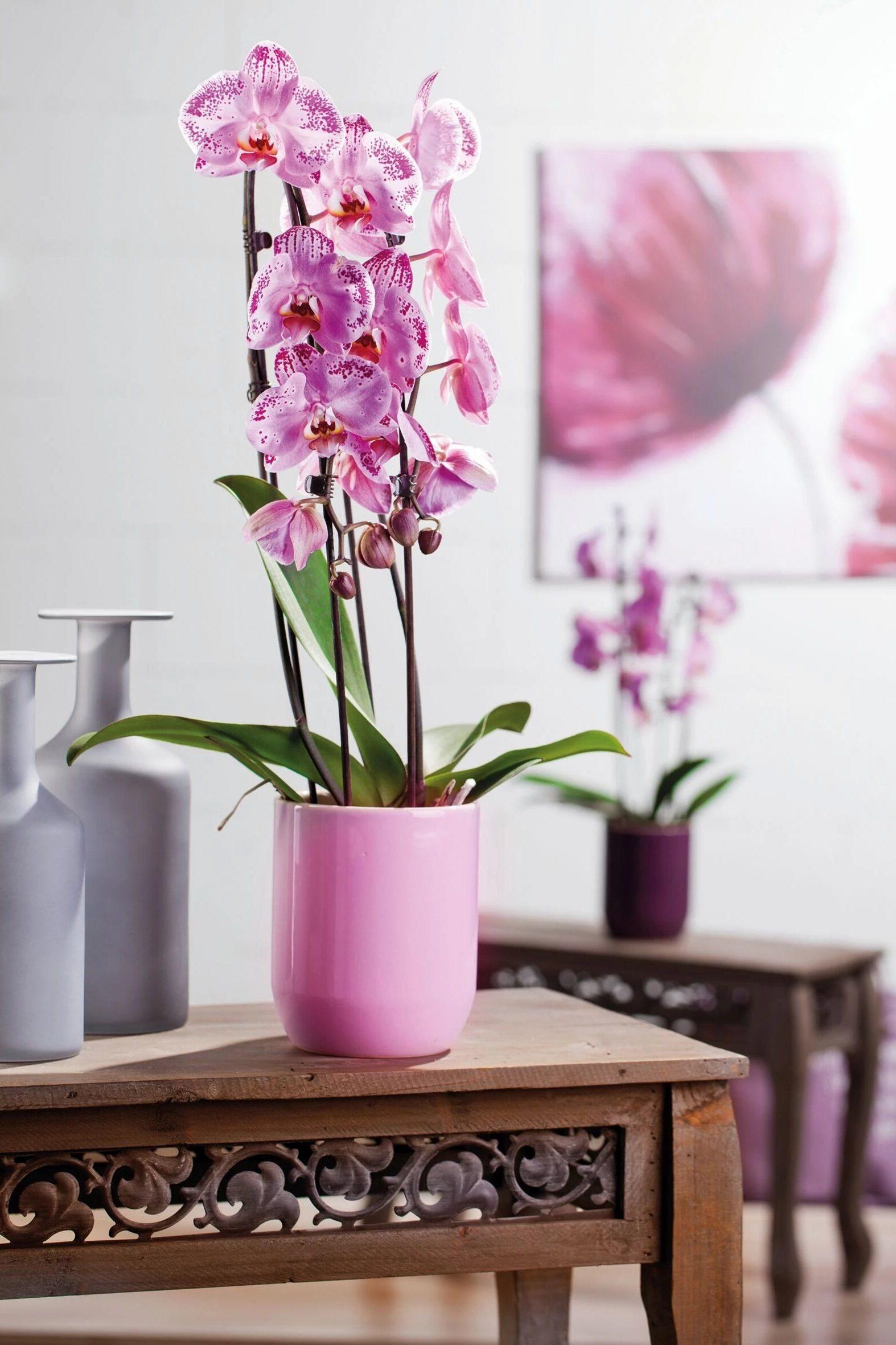 Побеги цветка фаленопсиса вырастают в высоту до 70 см.